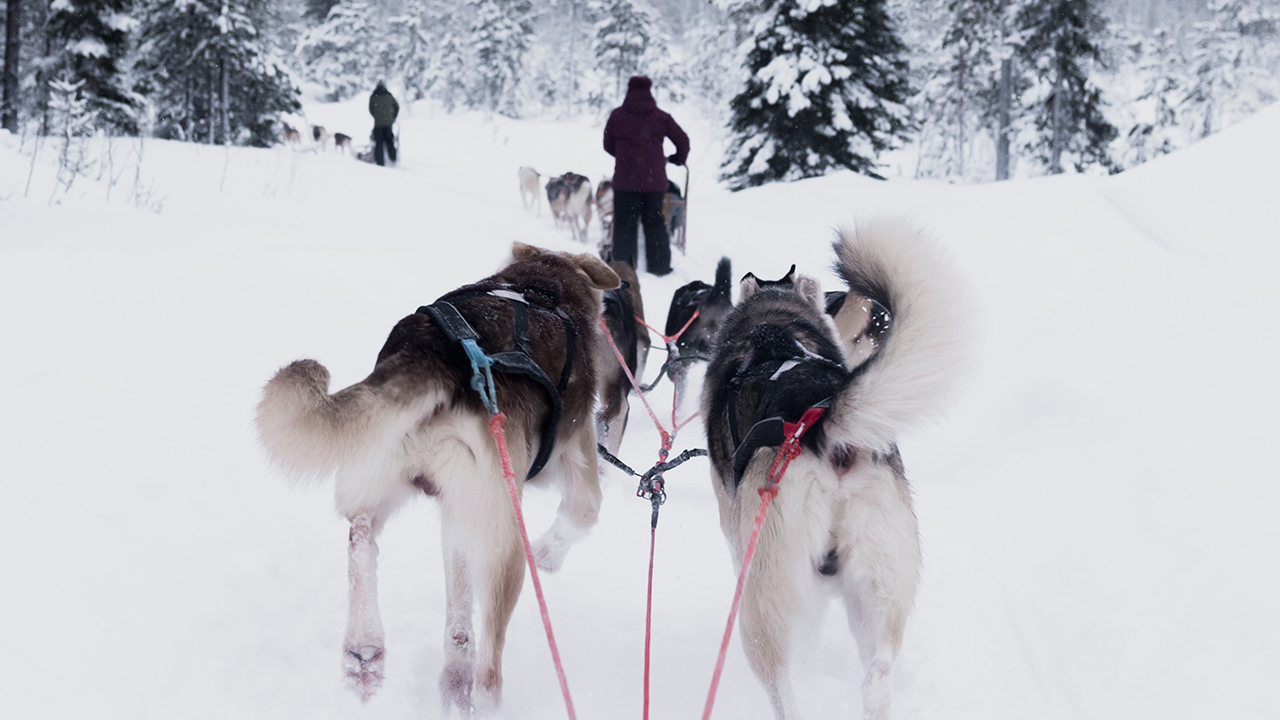dogsled with dogs mushing through the snow in the forest